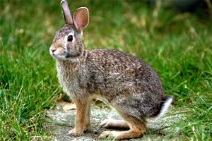 Resultado de imagem para coelho bravo