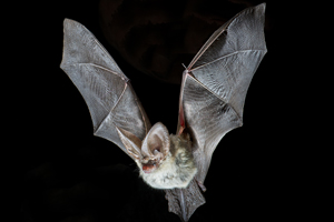 morcego-orelhudo-cinzento
