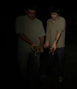 Dois dos investigadores envolvidos neste estudo – Marcelo Vallinoto e Fernando Sequeira (CIBIO-InBIO) seguram exemplares de sapo cururu (Rhinella marina). Foto: Um Segundo Filmes