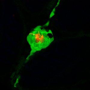 Imegem de um Neuromasto em microscopia