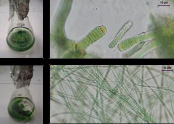 Foram analisadas diferentes  estirpes de cianobactérias marinhas isoladas em Portugal.