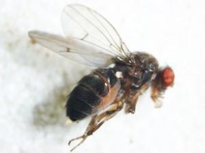 Drosophila americana, modelo de estudo