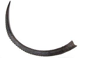 corno de Palanca-negra gigante