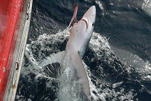 tubarão (pesca)