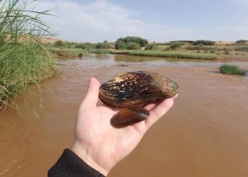 A espécie M. marocana foi encontrada nos últimos 54 km do Rio Laabid