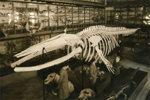 Museu de Zoologia, baleia