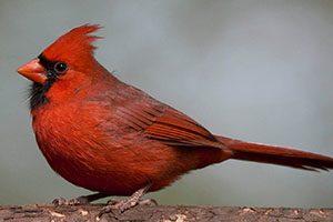 ave vermelha