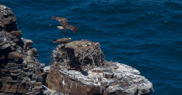 aguia-pesqueira2_630x330