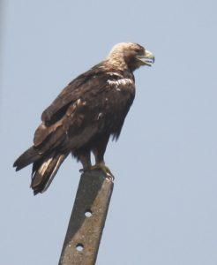 Águia-imperial-ibérica (Aquila adalerti). Créditos: Carlos Pacheco.