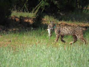 Lince-ibérico (Lynx pardinus). Créditos: Alfonso Moreno.