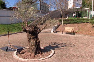 Plantação de árvore centenária na FLUP (destaque)