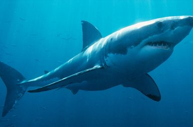 tubarão branco (destaque)