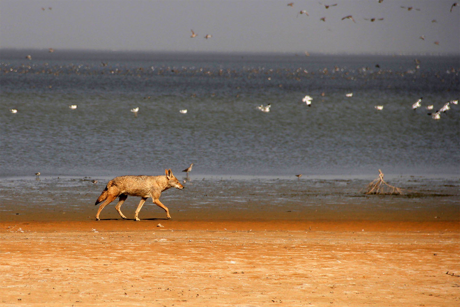 """Lobo africano: uma nova espécie que """"ressurgiu"""" há 5 mil anos"""