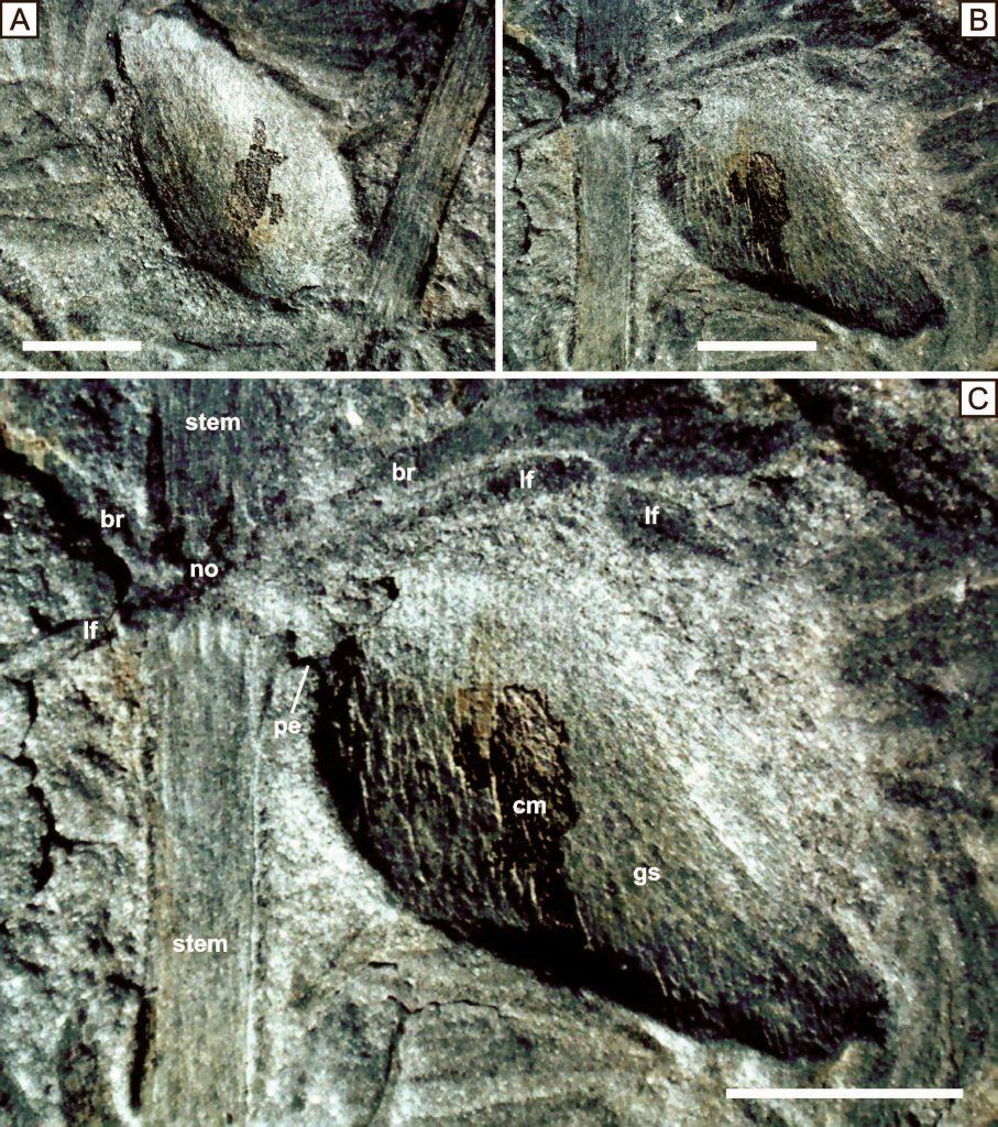 annularia gall