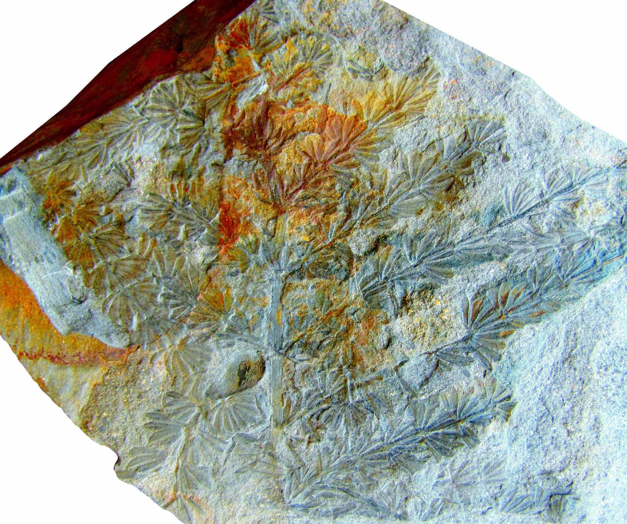 Investigador da FCUP descobre fóssil de uma nova espécie de planta
