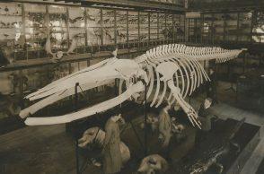 Balaenoptera da Praia da Paraíso, esqueleto de baleia, MHNC-UP, Reitoria