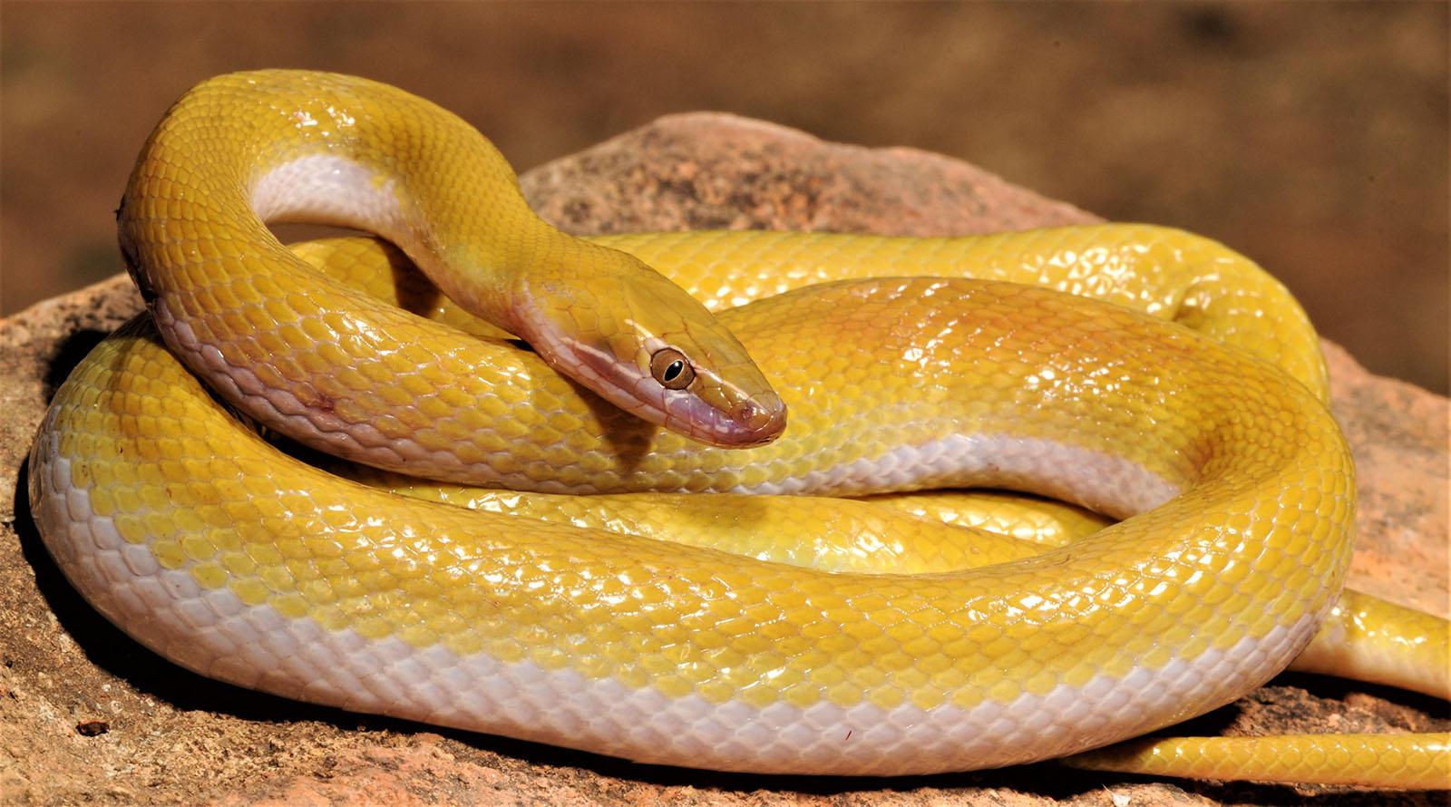 Investigadores da U.Porto descobrem novas espécies de serpentes em Angola