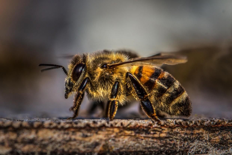 Investigadores do CIIMAR revelam a história das abelhas na Europa