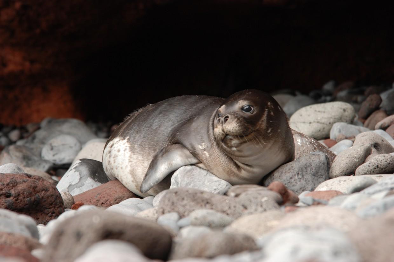 CIIMAR denuncia perda dramática de diversidade genética nos lobos marinhos