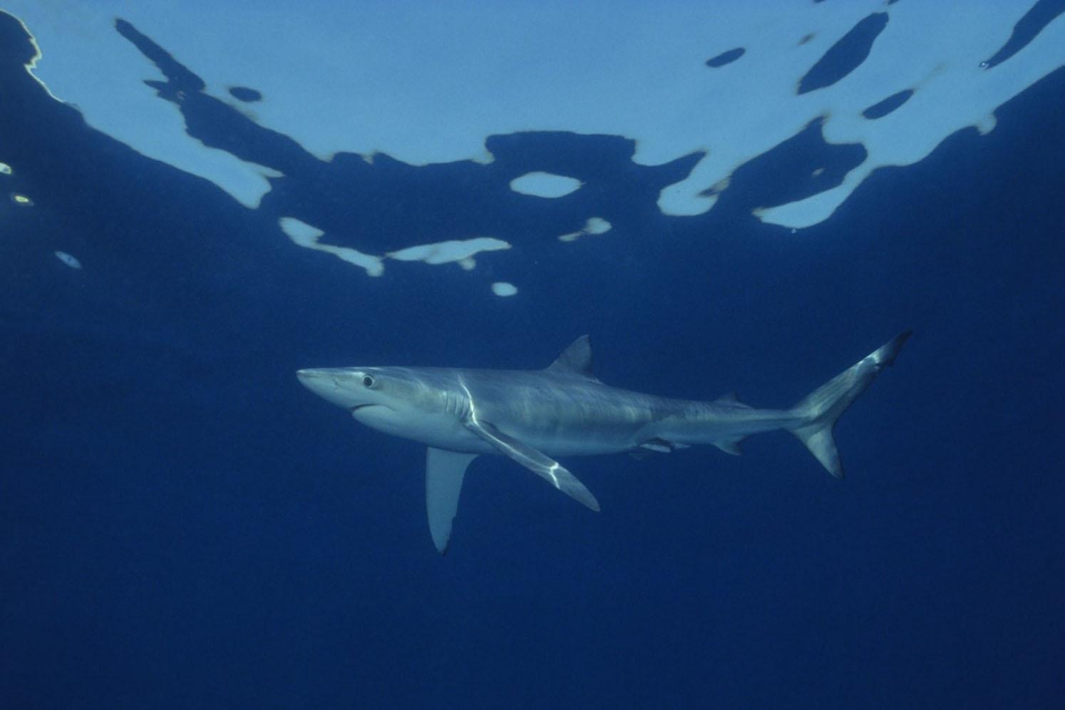 Alterações climáticas trazem tubarões para a superfície