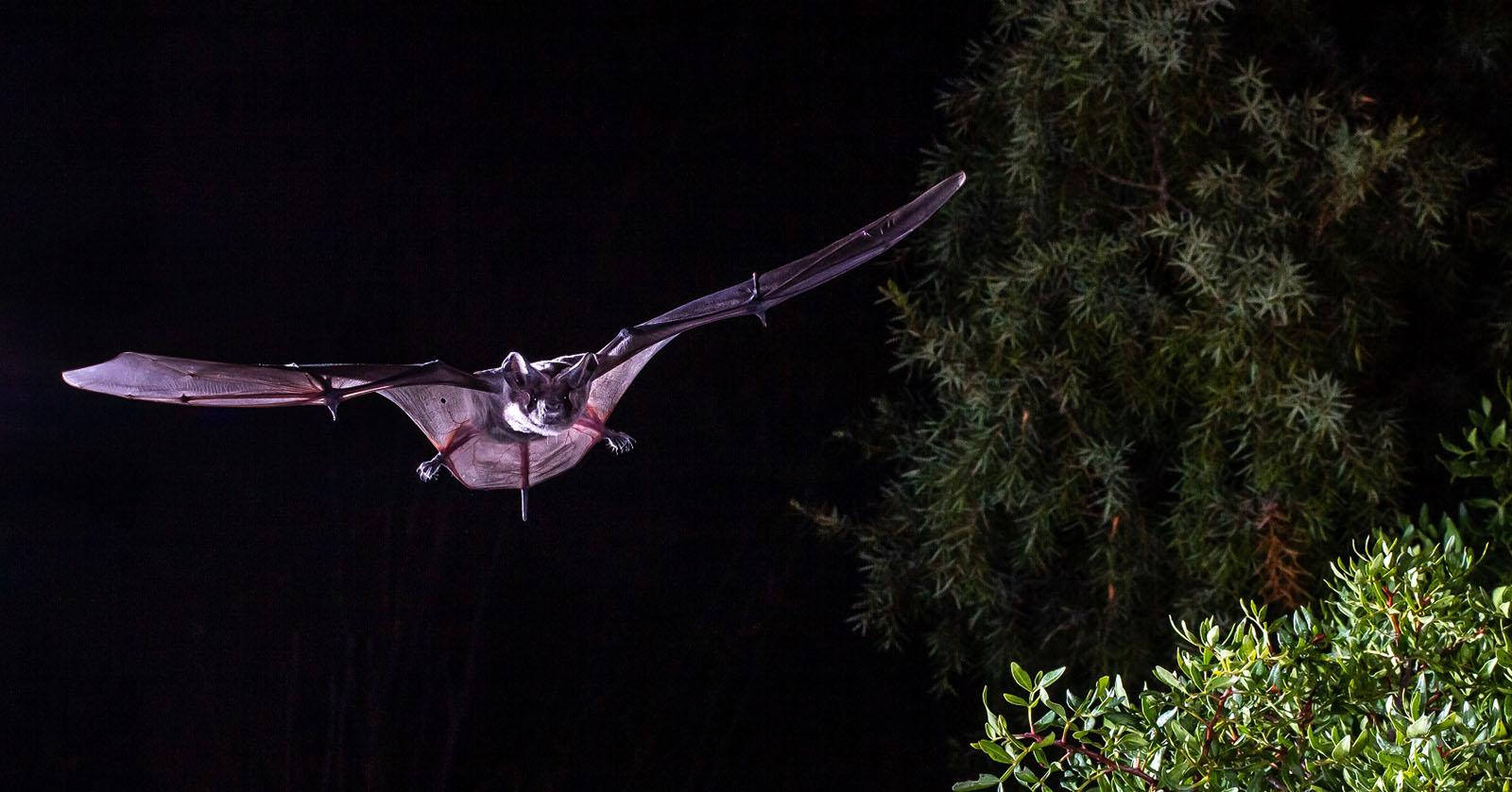 "Cientistas do CIBIO-InBIO desvendam o ""segredo"" do voo dos morcegos"